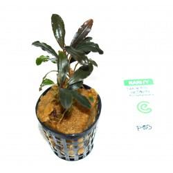 "Bucephalandra sp. ""brownie metallica"""