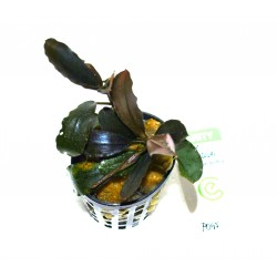 "Bucephalandra sp. ""pinoh round blue"""