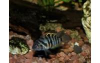Cichlidé bagnard femelle