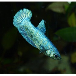Combattant metallic - Betta splendens