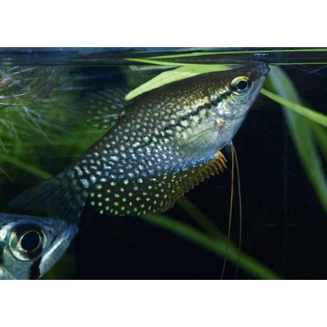 Gourami perlé - Trichopodus leerii