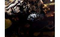 Cichlidé bagnard femelle marbré