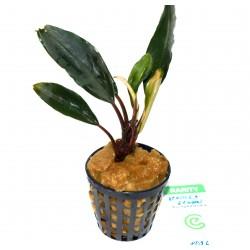 "Bucephalandra motleyana ""achiles green"""