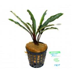 """Bucephalandra motleyana """"kapuas hulu"""""""