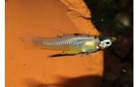 Topminnow à flanc doré - Girardinus falcatus