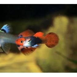 Guppy koï showa tête rouge - Poecilia reticulata