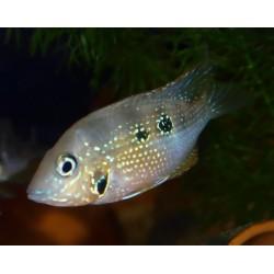 Cichlidé à joues tachetées - Thorichthys maculipinnis