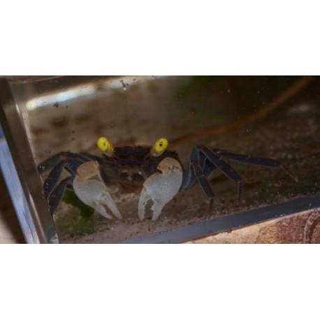 Crabe vampire black - Geosesarma sp. vampire black