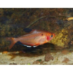 Tétra joyau - Hyphessobrycon eques