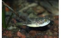 Poisson-globe fahaka - Tetraodon lineatus