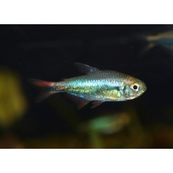 "Tetra ""red blue Peru"" - Moenkhausia margitae"