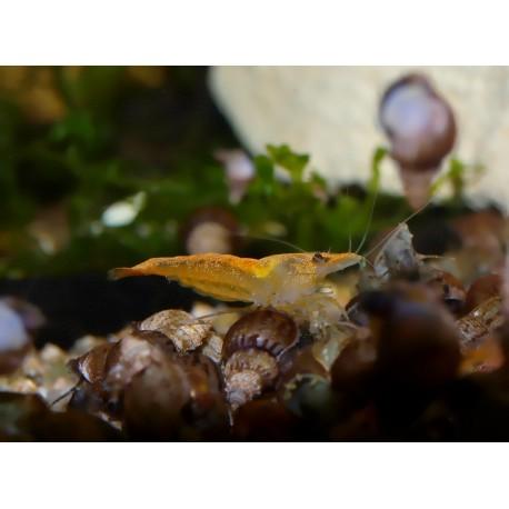 Crevette sakura orange - Neocaridina davidii