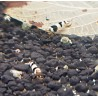 "Crevette Crystal ""black"" - Caridina cf cantonensis"