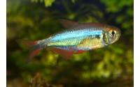 "Tetra ""red blue Peru"" - Moenkhausia margitae"