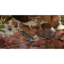 Poisson-chat pictus - Pimelodus pictus