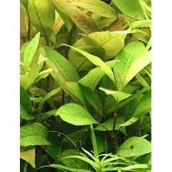 "Hygrophile géante ""feuille de cerisier"" - Hygrophila corymbosa var. cherry leaf"