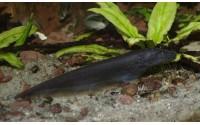 Poisson-couteau fantôme brun - Apteronotus galvisi