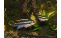 Pelmato super rouge - Pelvicachromis pulcher