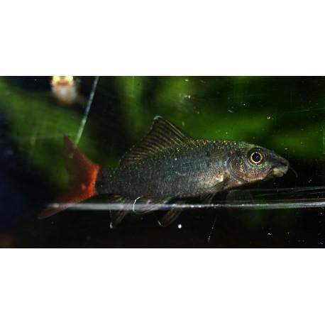Labeo bicolor - Epalzeorhynchos bicolor