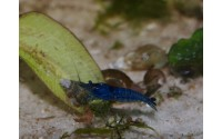 Crevette Blue velvet - Neocaridina davidii