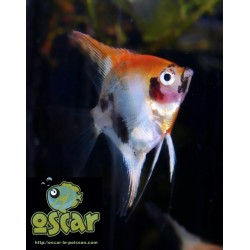 Scalaire red devil - Pterophyllum scalare