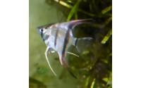 Scalaire Manacapuru red back - Pterophyllum scalare