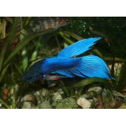 Combattant mâle bleu - Betta splendens
