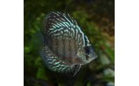 Discus turquoise rouge - Symphysodon aequifasciata