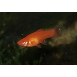 Xipho porte épée rouge - Xiphophorus helleri