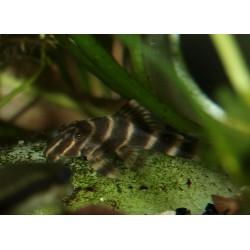 Pleco Sucre d'orge - Peckoltia vittata - L015