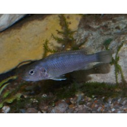 Pseudotropheus sp. perspicax Ndumbi