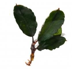 "Bucephalandra motleyana ""theia green"""