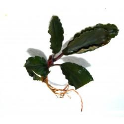 "Bucephalandra motleyana ""super blue central kalimantan"""