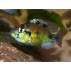 "Haplochromis ""Yellow Belly"" mâle"