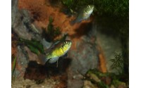"Haplochromis ""Yellow Belly"" mâle"