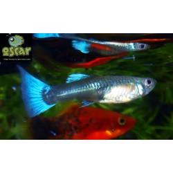 Guppy bleu néon métallique femelle