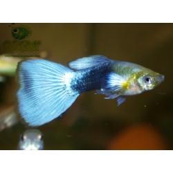 Guppy bleu néon métallique mâle