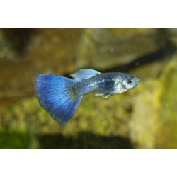 Guppy bleu moscou mâle