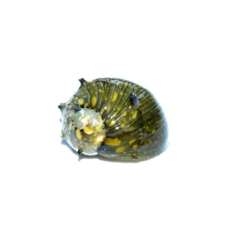 "Clithon sp. ""snail sun"""