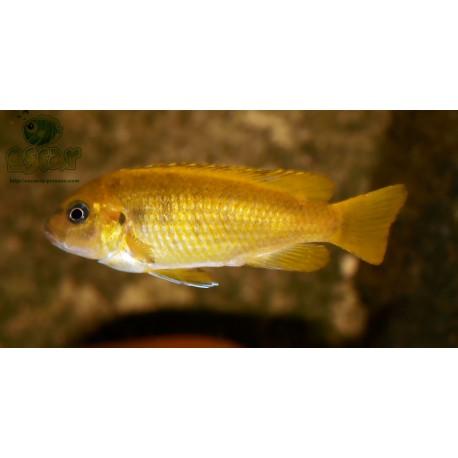Pseudotropheus saulosi femelle