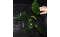 Anubias barteri var. feuilles larges