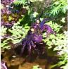Crabe vampire purple - Geosesarma dennerle