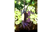 Crabe vampire purple - Geosesarma aristocratensis