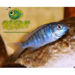 Placidochromis moori