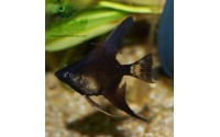 Scalaire - Pterophyllum scalare noir
