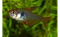Tétra fantôme rouge - Hyphessobrycon sweglesi
