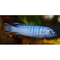Pseudotropheus sp. elongatus ornatus Likoma
