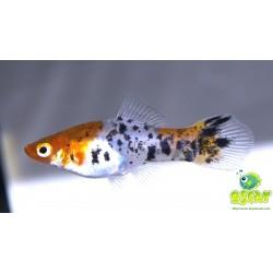 Xipho koï tricolor - Xiphophorus helleri