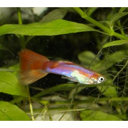 Guppy blond néon rouge