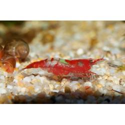 Crevette rili rouge - Neocaridina davidii
